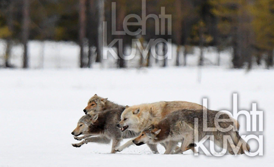 Finnish wildlife : a pack of wolves with alfa male, brown bear, raven, wood grouse,wolverine,golden eagle,white-tailed eagle